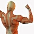 Sistem muscular